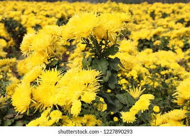 Yellow Chrysanthemum at garden