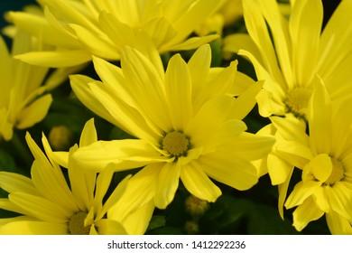 Yellow Chrysanthemum - Latin name - Dendranthema indicum (Chrysanthemum indicum)