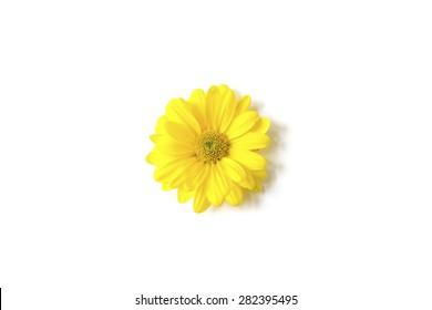 Yellow Chrysanthemum on white background