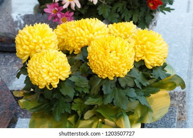 Yellow chrysanthemum plant on a tombstone for All Saints Day