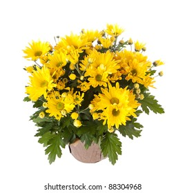 Yellow chrysanthemum in a pot