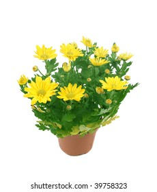 Yellow chrysanthemums in a brown pot on a white background.