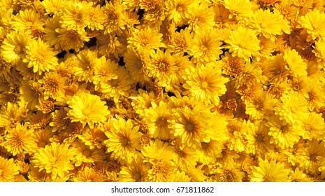 Yellow chrysanthemums daisy flower background pattern bloom.