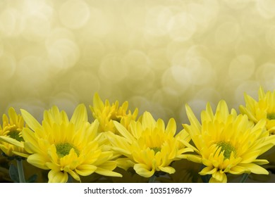 Yellow Chrysanthemums with a faded golden bokeh background. They are also called mums or chrysanths and are flowering plants of the genus Chrysanthemum in the family Asteraceae.