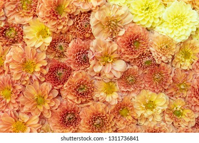 Yellow chrysanthemums flowers  background in spring or mothers day