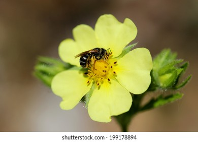 Yellow Cinquefoil flower being pollinated by bee