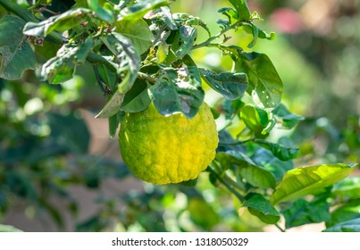 Yellow citron or Citrus medica used by Jewish people during the holiday of Sukkot - growing at greenhouse