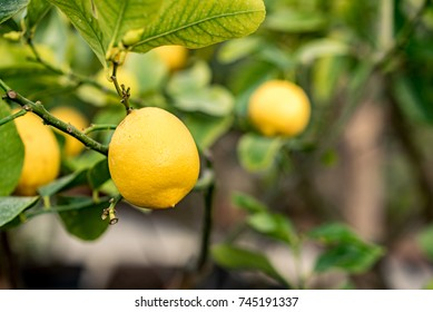 Yellow citrons with water drops