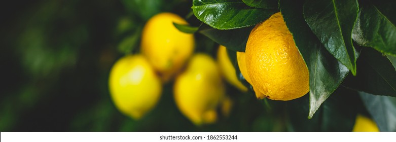 Yellow citrus lemon fruits and green leaves, banner. Citrus Limon  tree, close up. Decorative citrus lemon house plant. Meyer lemon Citrus × meyeri, closeup