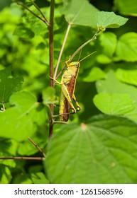 Yellow climbing grasshopper