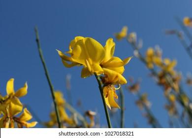 Yellow close uo flowers of Spartium junceum (weaver's broom) against blue sky