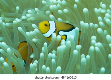 Yellow clown anemonefish among its home anemone's tentacles