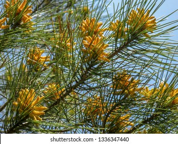 Yellow cluster of pollen-bearing male cones (microstrobiles) at the tip of Pitsunda pine (Pinus brutia pityusa) branch. Theme of spring and the awakening of nature. Selective focus.
