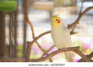 Yellow cockatiel on a branch