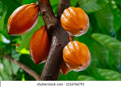 Yellow Cocoa pods grow on the tree. The cocoa tree ( Theobroma cacao ) with fruits.