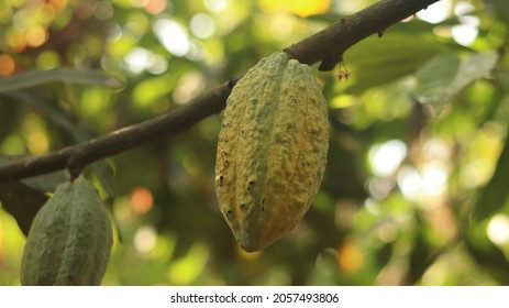 Yellow Cocoa pods ripe and grow on the tree. This is cocoa tree or Theobroma cacao.