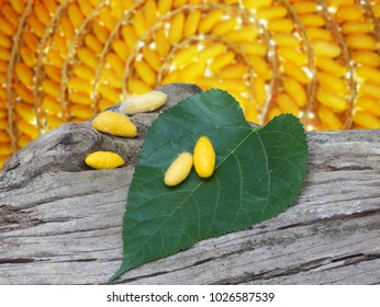 yellow cocoons and mulberry leaf on dead tree and the backside is a lot of yellow cocoons