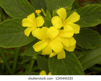 Yellow color Bermuda buttercup or Oxalis pes caprae flowers