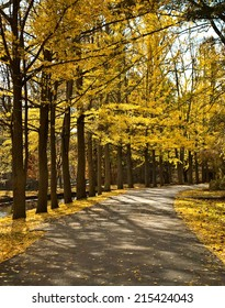 Yellow colored fall leaves alone the roadside.