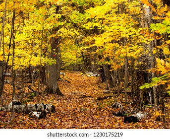 Yellow Colors of Autumn in Forest in Adirondack Park, New York