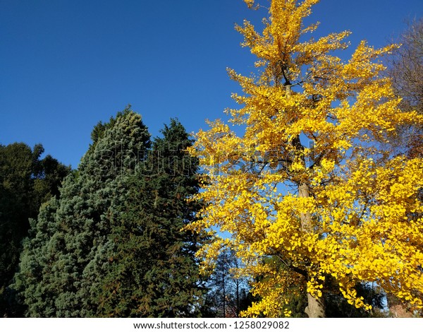 yellow coloured autumn leaves of the ginkgo biloba against blue sky