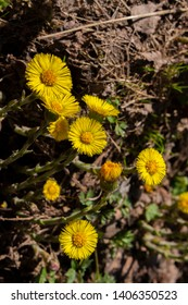 Yellow coltsfoot flower foalfoot vertical photo close-up low key, beautiful large coltsfoot flowers, medical herbs. Yellow flowers with a lot of petals and a bright round heart