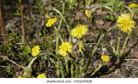 Yellow coltsfoot flowers blooming and growing in the early spring