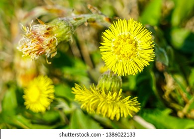 Yellow coltsfoot flowers Tussilago farfara in early spring