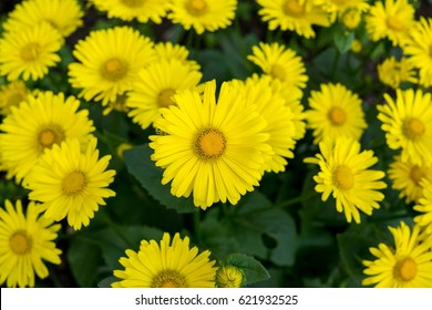Yellow coltsfoot spring flowers. Slovakia