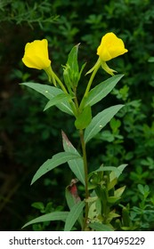 A yellow Common Evening Primrose flower. Also known as a Evening Star, Fever Plant, German Rampion, Hog Weed, and Sun Drop. Todmorden Mills Park, Toronto, Ontario, Canada.