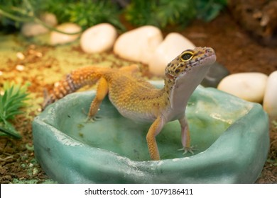 Yellow common leopard gecko standing in a water drinking bowl in terrarium