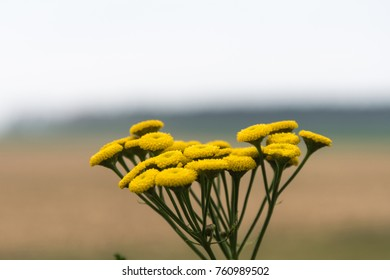 Yellow common tansy flower close up