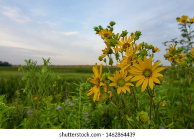 Yellow compass plant in full bloom as the sun rises  at the Dixon waterfowl refuge