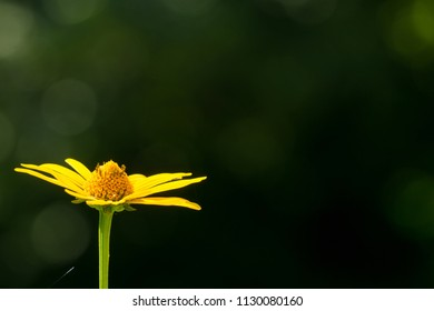 YELLOW CONEFLOWER IN THE MORNING LIGHT