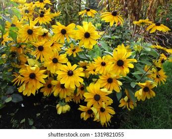 "Yellow coneflower rudbeckia fulgida ""Goldsturm"""