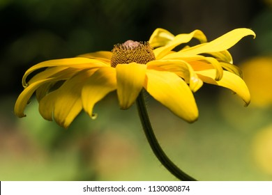 YELLOW CONEFLOWER FROM THE SIDE