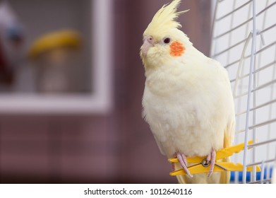A yellow corella parrot with red cheeks and long feathers sitting on peg