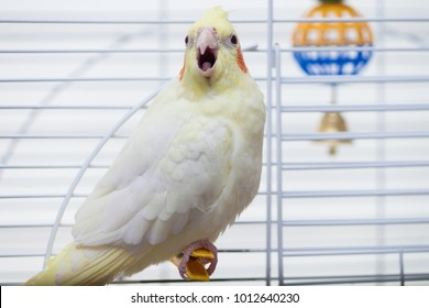 A yellow corella parrot with red cheeks and long feathers sitting on peg with open mouth