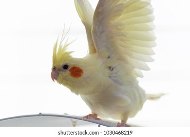 A yellow corella parrot with red cheeks and long feathers   with raised wings sitting on cage