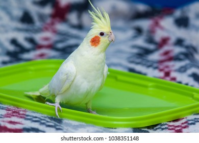 A yellow corella parrot with red cheeks and long feathers sitting on the bed