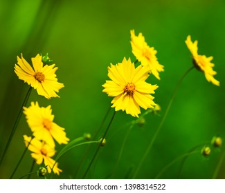 Yellow Coreopsis Daisies floers with blurred green background along a World Peace Pagoda garden in Nepal