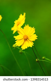 Yellow Coreopsis floers with blurred green background.in garden of World Peace Pagoda Pokhara Nepal
