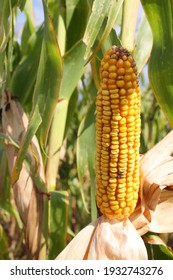 Yellow Corn with Husk removed in the Field