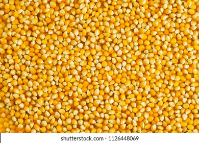 Yellow corn seed background. Close up of food grains.