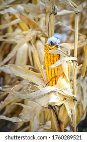 Yellow corn that has not been harvested due to early snowfall, climate change