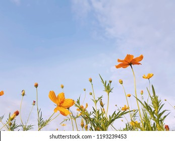 Yellow cosmos with blue sky background