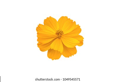 yellow cosmos, Coreopsideae flower isolate on white background with path