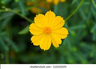 Yellow cosmos flower images stock photos vectors shutterstock yellow cosmos flower mightylinksfo