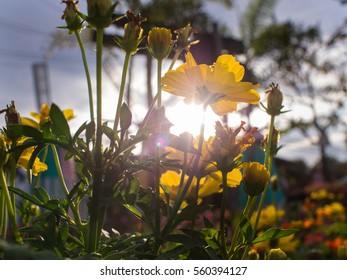 The Yellow Cosmos Flower Against Sun Light