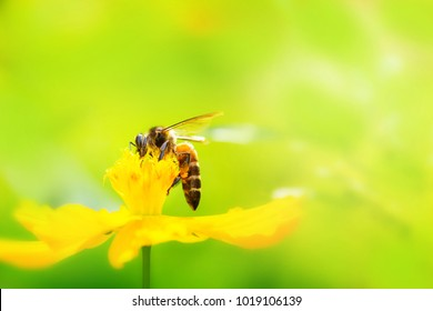 Yellow cosmos flower and Bee with soft blurred background